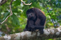 Black Howler Monkey Alonatta caraya (EAJ010358)