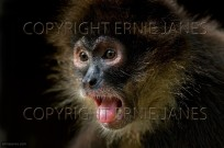 Black Spider Monkey Ateles fus (EAJ010359)