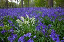 Bluebells Blickling Great Wood May (EAJ010056)