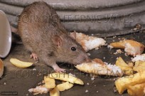 Brown Rat Rattus norvegicus (EAJ009456)