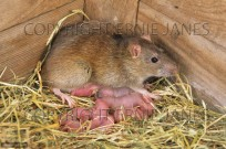 Brown Rat Rattus norvegicus (EAJ009457)