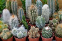 Garden centre in January collection of Cacti (EAJ009313)