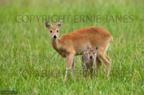 Chinese Water Deer female with fawn (EAJ009460)