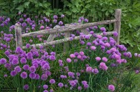 Chives in flower and decorative garden hurdle (EAJ009316)