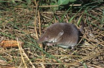 Common Shrew Sorex araneus (EAJ009467)