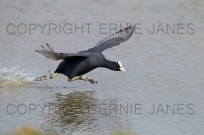 Coot Fulica atra Running on Water before takeoff (EAJ008678)