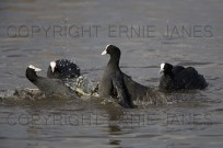 Coots Fulica atra fighting (EAJ008679)