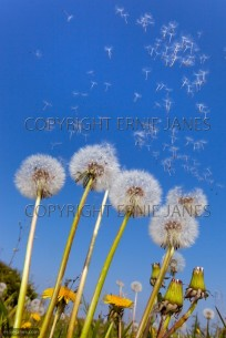 Dandelion Taxaxacum officinale seed blowing away (EAJ010062)