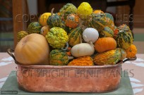 Mixed squashes on display  Autumn (EAJ010708)