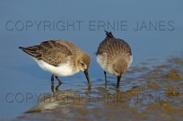 Dunlin Calidris alpina feeding on coastal pool (EAJ008689)