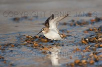 Dunlin Calidris alpina feeding on frozen pool (EAJ008690)