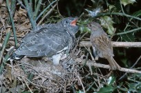 Hedge Sparrow Prunella modularis feeding cuckoo (EAJ008692)