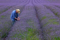 Farmer checking Lavender crop West Norfolk August (EAJ009042)