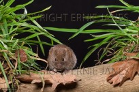 Field Vole Microtus agrestis (EAJ009458)