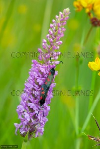 Fragrant Orchid and Five-spot Burnet Moths (EAJ010661)