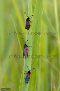Five-spot Burnett Moth Zygaena trifolii Morning (EAJ010662)