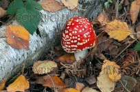 Fly Agaric Amanita muscaria growing under birch (EAJ010791)