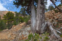 Juniper trees in Troodhos  National Park Cyprus (EAJ009126)