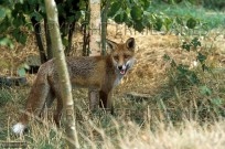 Adult Dog Fox Vulpes vulpes (EAJ009464)