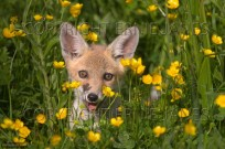 Fox cub Vulpes vulpes peeping from buttercups (EAJ009465)