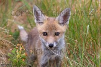 Fox cub Vulpes vulpes venturing out of den (EAJ009466)