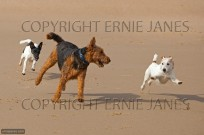 Jack Russell,Airedale and Fox Terrier (EAJ009511)