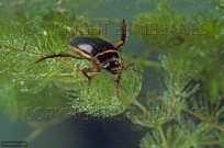 Great Diving Beetle Dytiscus marginalis (EAJ010663)