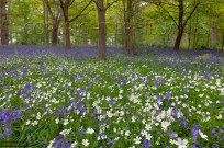 Bluebells and Greater Stitchwort Stellaria holoste (EAJ010057)