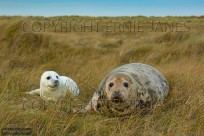 Grey Seal Halichoerus grypus female with young (EAJ010939)
