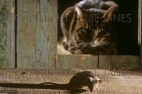 Cat Watching House Mouse (EAJ009484)
