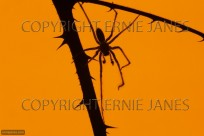 House Spider Tagenaria domestica at Sunset (EAJ010590)