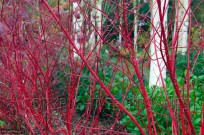 Himalayan Birches and Red twig Dogwood (EAJ010710)
