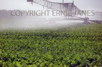 Irrigating celery crop at Happisburgh Norfolk Sep (EAJ009055)