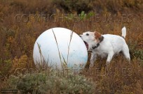 Jack Russell playing with mooring buoy (EAJ009516)