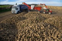 Sugar beet crop harvested Norfolk UK December (EAJ009218)