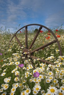 Old wagon wheel in field of arable weeds (EAJ010086)