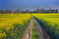 Path through Oilseed Rape Field Norfolk April (EAJ009224)