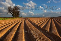 Newly planted potato field at Sidestrand Norfolk (EAJ009227)