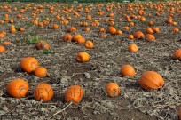 Pumpkins ripening in field for halloween (EAJ009231)