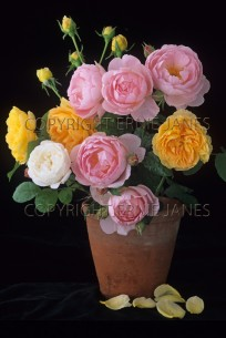 Garden Still Life With Pink & Yellow Roses (EAJ010307)