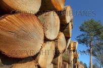 Scots Pines Pinus sylvestris log stack Norfolk (EAJ010198)