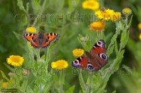 Small Tortoiseshell and Peacock Butterfly (EAJ010607)