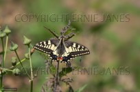 Swallowtail Butterfly Papilio machaon (EAJ010600)