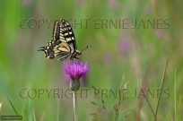 Swallowtail Butterfly Papilio machaon (EAJ010603)