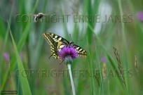 Swallowtail Butterfly Papilio machaon (EAJ010604)
