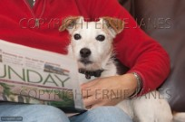 Jack Russell terrier at home with owner (EAJ009521)