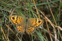 Wall Brown Butterfly Pararge megera (EAJ010631)