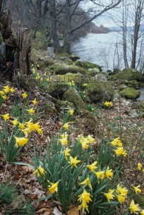 Wild Daffodils on shore of Ullswater Lake District (EAJ010355)
