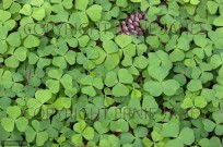 Wood-sorrel Oxalis acetosella leaves (EAJ010061)