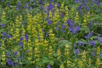 Bluebells & Yellow Archangle Lamiastrum galeobdolo (EAJ010058)